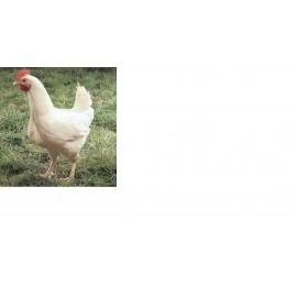 Poulet Blanc