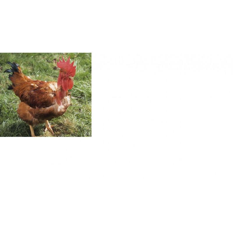 Goûter aux poulets tradition Naudin Volailles, vente à la