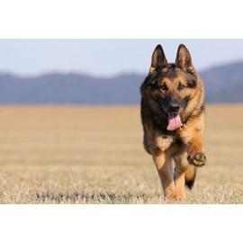 Pas moins d'un chien sur cinq âgés de plus d'un an sont confrontés à des problèmes d'articulations.