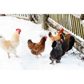 Pourquoi les poules ne pondent (presque) pas d'œufs en hiver?