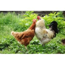 Comment introduire de nouvelles poules dans une poulailler ?